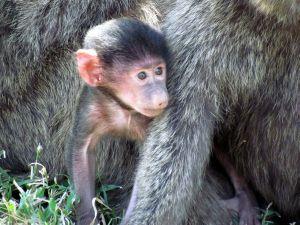 Baby_baboon