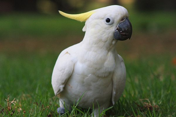 Cockatoo (2)