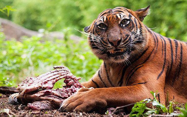 carnivorous animal