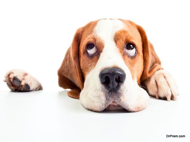 beagle isolated on white