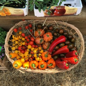 Life in Italy: tomatoes on display at a market in Lucca