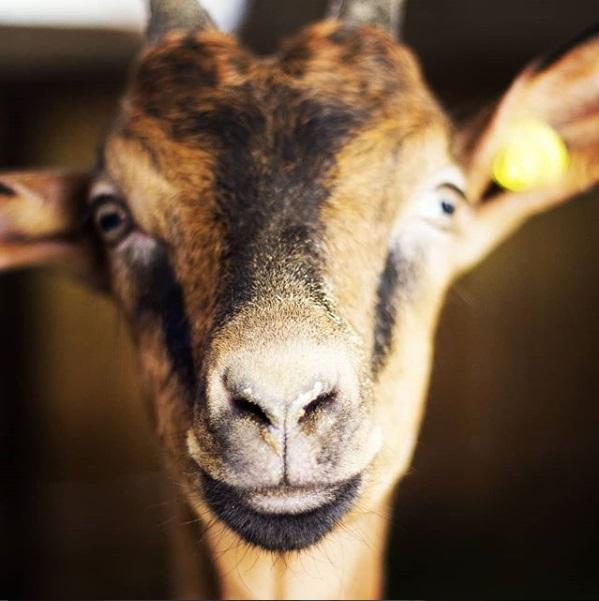 I Pascoli di Amaltea - Goat