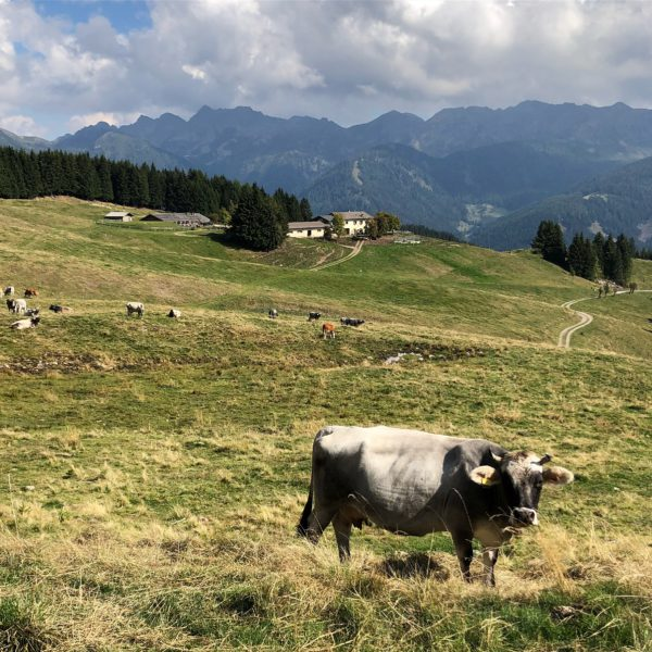 Valle dei Mòcheni, cows grazing in the fields