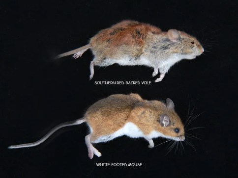 mouse-vole-img_5176