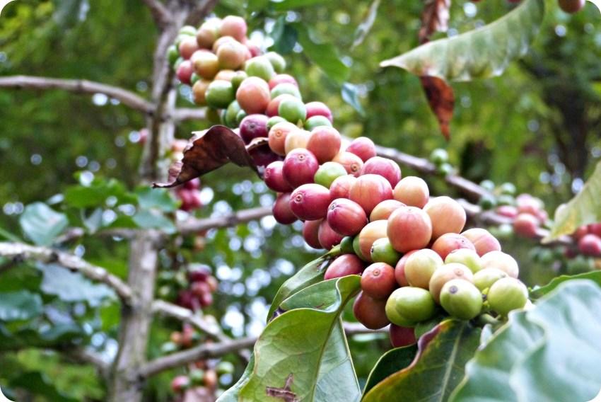 Rama con granos de café en el Parque del Café