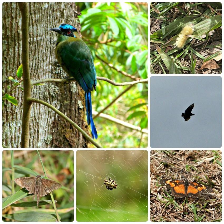 Aves e insectos encontrados en Salento : Momotus momota, Cathartidae, Gasteracantha