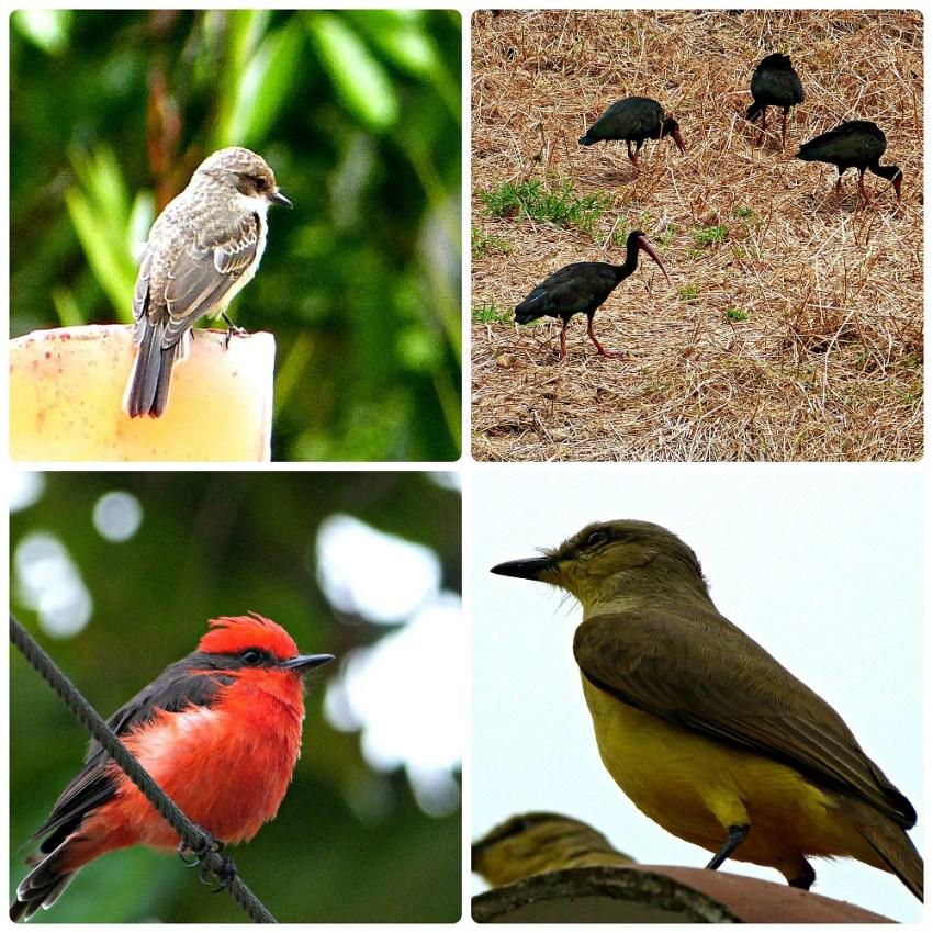 4 aves encontradas en el Parque del Café: Tyrannulus, Phimosus infuscatus, Pyrocephalus rubinus, Machetornis rixosa