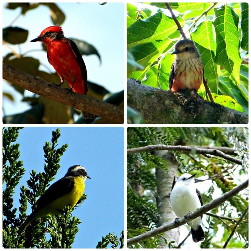 Fotos de aves encontrados en el Parque de la Vida en Armenia : Pyrocephalus rubinus, Myiozetetes similis, Fluvicola pica