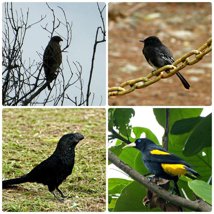 4 autres espèces d'oiseaux rencontrées au Parque del Café : Buteogallus schistaceus, Sayornis nigricans, Crotophaga ani, Cacicus cela