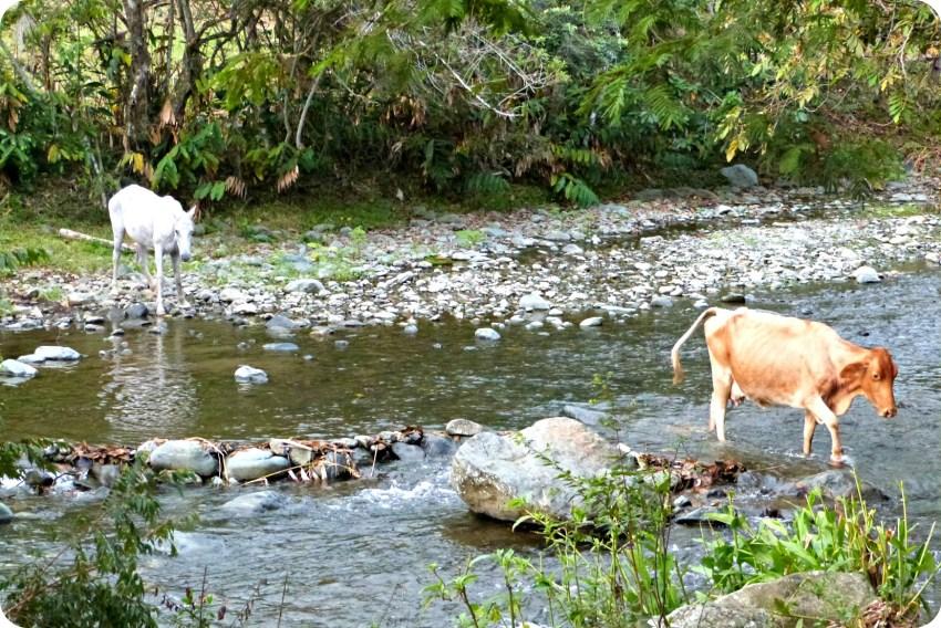 Caballo y vaca atravezando el río en el pueblo de Portugal
