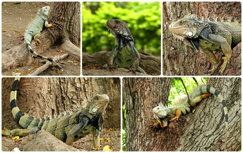 D'autres Iguanidae rencontrés dans un parc de Buga