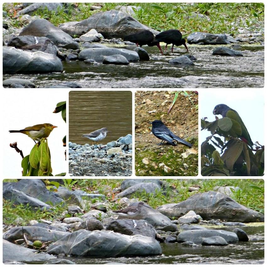 Fotos de las aves encontradas cerca del río del pueblo de Portugal: Phimosus infuscatus, Hemithraupis guira, Actitis macularius, Sayornis nigricans, Pionus menstruus, Tringa melanoleuca