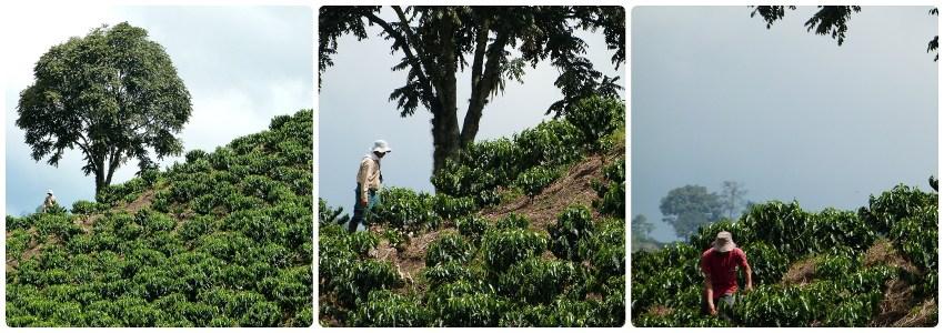Travailleurs dans un champs de café sur la route entre Armenia et Manizales