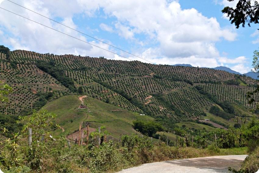 Campo de cítricos en la montaña y el camino para ir de Manizales a Aguadas