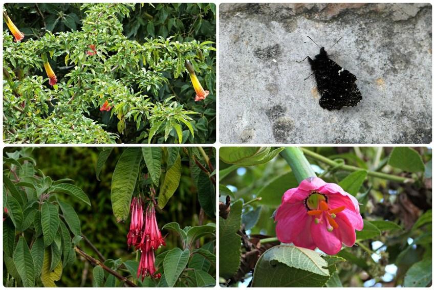 Mariposa y flores encontradas durante la subida de Monserrate en Bogotá : Brugmansia, Passiflora