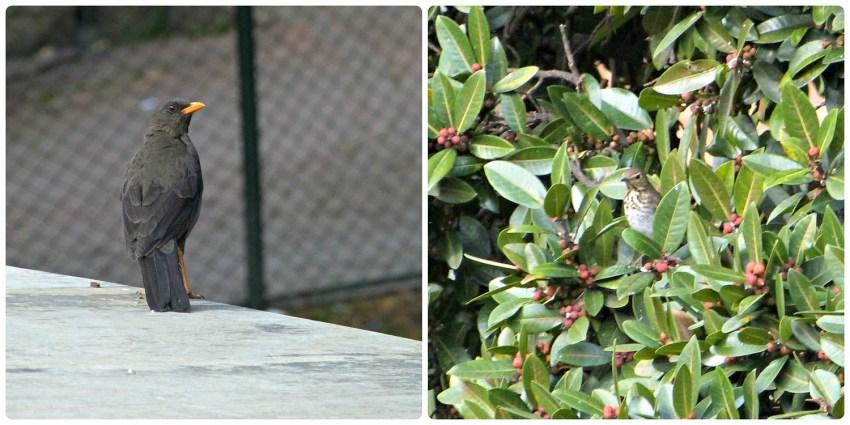 Fotos de las 2 mirlas en Bogotá : Turdus fuscater y Turdus ignobilis