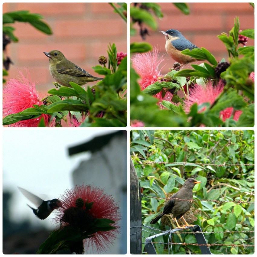 4 aves encontradas en el jardín en Manizales: Diglossa sittoides, Coeligena torquata, Turdus fuscater