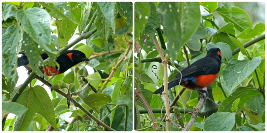 Oiseau rencontré lors de la montée de Monserrate à Bogotá : Anisognathus igniventris