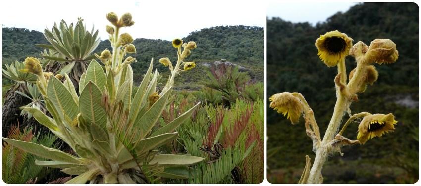 Planta del paramo en los termales de san juan en el parque natural Puracé