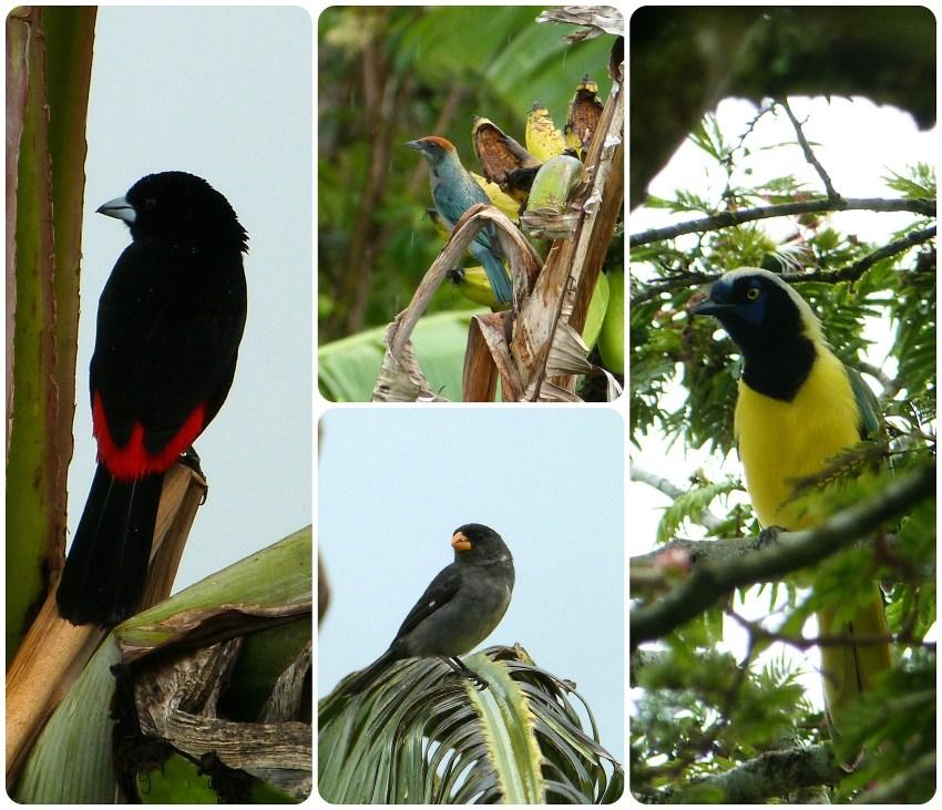 Aves encontradas en El Tambo cerca de Popayán : Ramphocelus flammigerus, Tangara vitriolina, Oryzoborus crassirostris, Cyanocorax yncas