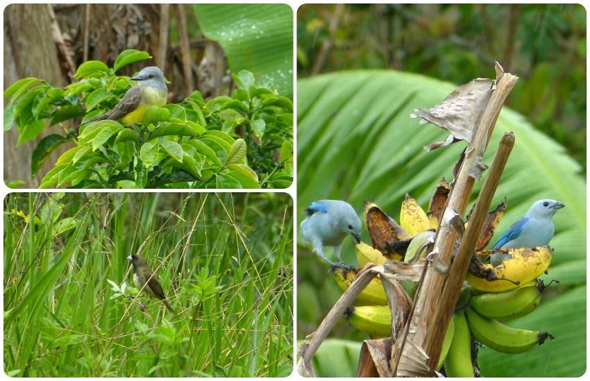 Oiseaux rencontrés à El Tambo près de Popayán : Tyrannus melancholicus, Sporophila nigricollis, Thraupis episcopus