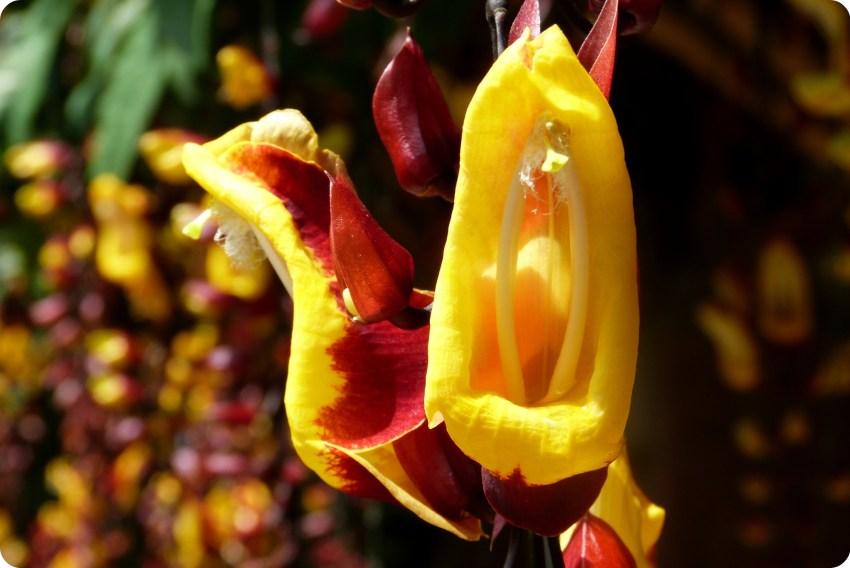 Fleur jaune et rouge au jardin botanique du Quindío à Calarcá