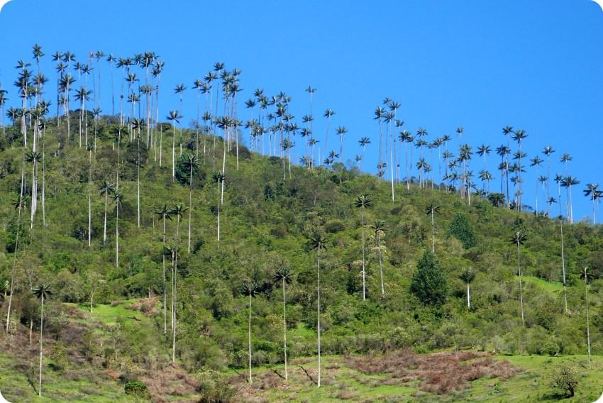 Bosque de palmas de cera Ceroxylon quindiuense en el valle de Cocora
