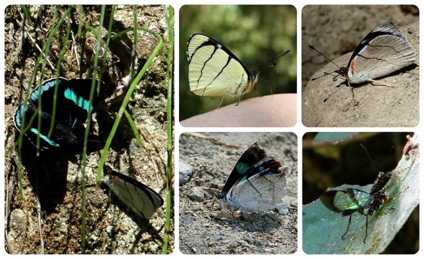 Mariposas Perisama bomplandii y Perisama oppelii en el valle de Cocora
