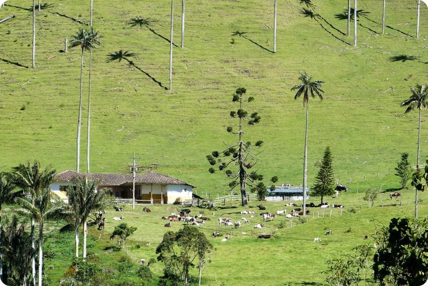 Ceroxylon quindiuense Palmas de cera en el valle de Cocora con un potrero de vacas en el fondo