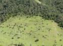 Ceroxylon quindiuense Nombreux palmiers à cire dans la vallée de Cocora