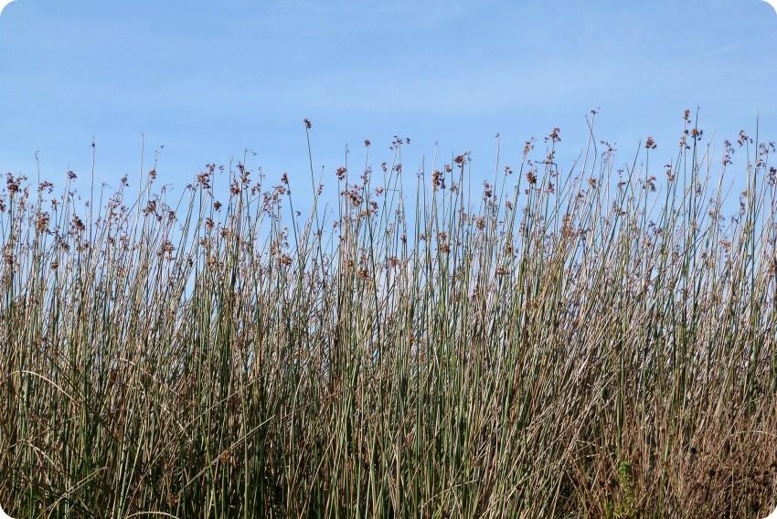 gramineas en la laguna de la Cocha de Pasto
