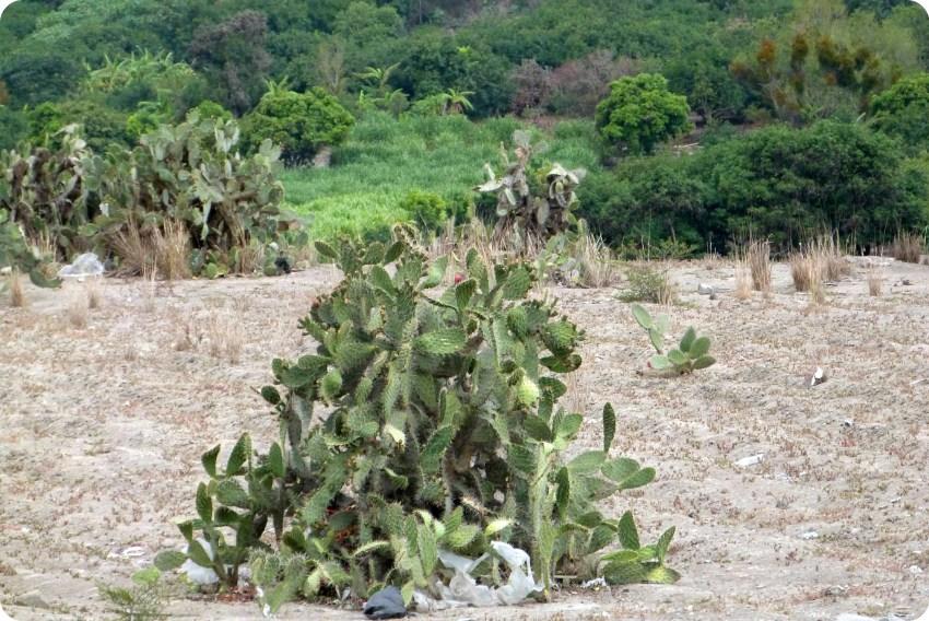 cactus en la ruta entre Tulcán e Ibarra