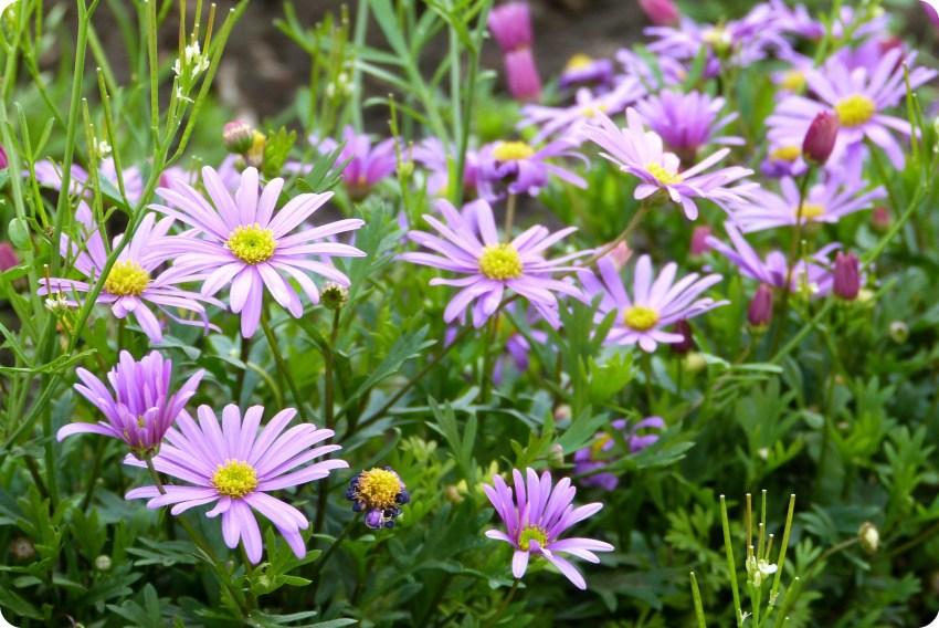 flores malvas en el cementerio de Tulcán