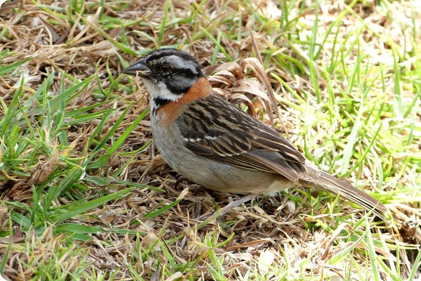 ave encontrada en el cementerio de Tulcán : Zonotrichia capensis