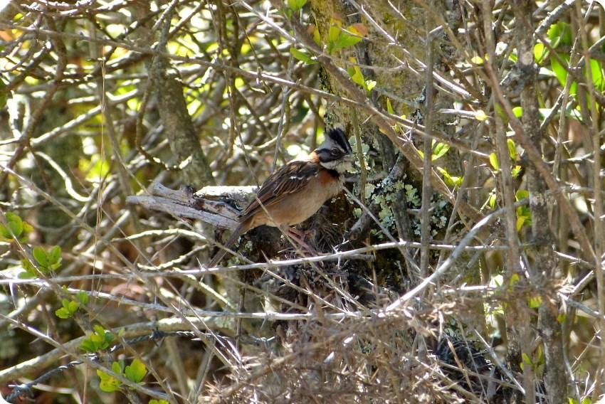 Oiseau rencontré au désert de la tatacoita de Nemocón : Zonotrichia capensis
