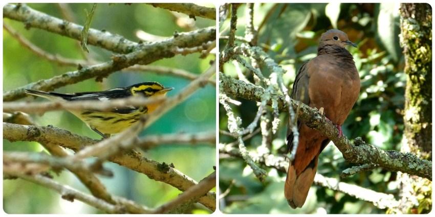 oiseaux rencontrés au jardín botánico de Bogotá