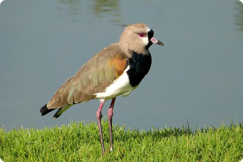 ave en el Parque Metropolitano Simon Bolivar : Vanellus chilensis