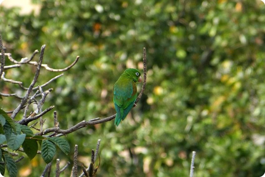 Periquito de anteojos en un árbol del centro de la ciudad de Medellín : Forpus conspicillatus