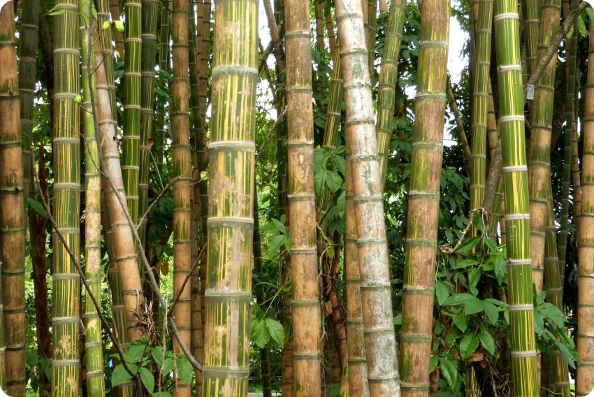 bosque de guadua en el jardín botánico de Medellín