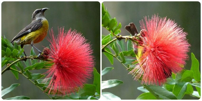 ave sobre una flor en el jardín botánico de Medellín : Coereba flaveola