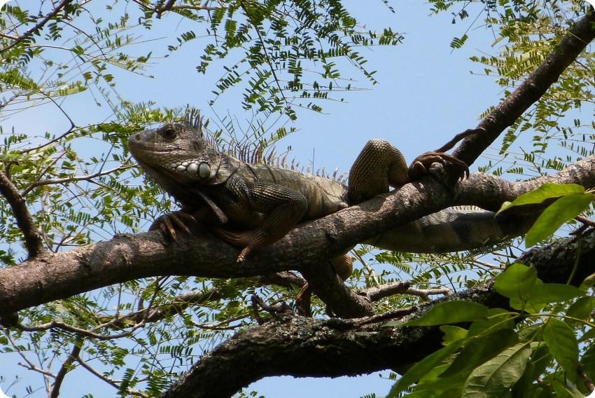 iguana en un árbol del jardín botánico de Medellín