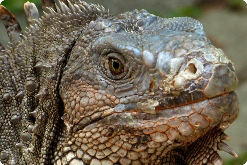 cabeza de una iguana en el jardín botánico de Medellín