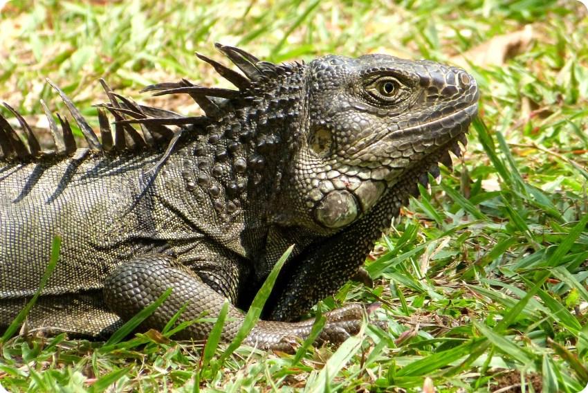 iguana en el suelo en el jardín botánico de Medellín
