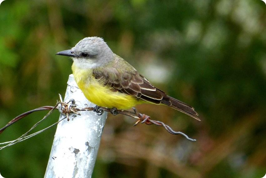 ave en el Pueblito Paisa de Medellín : Tyrannus melancholicus