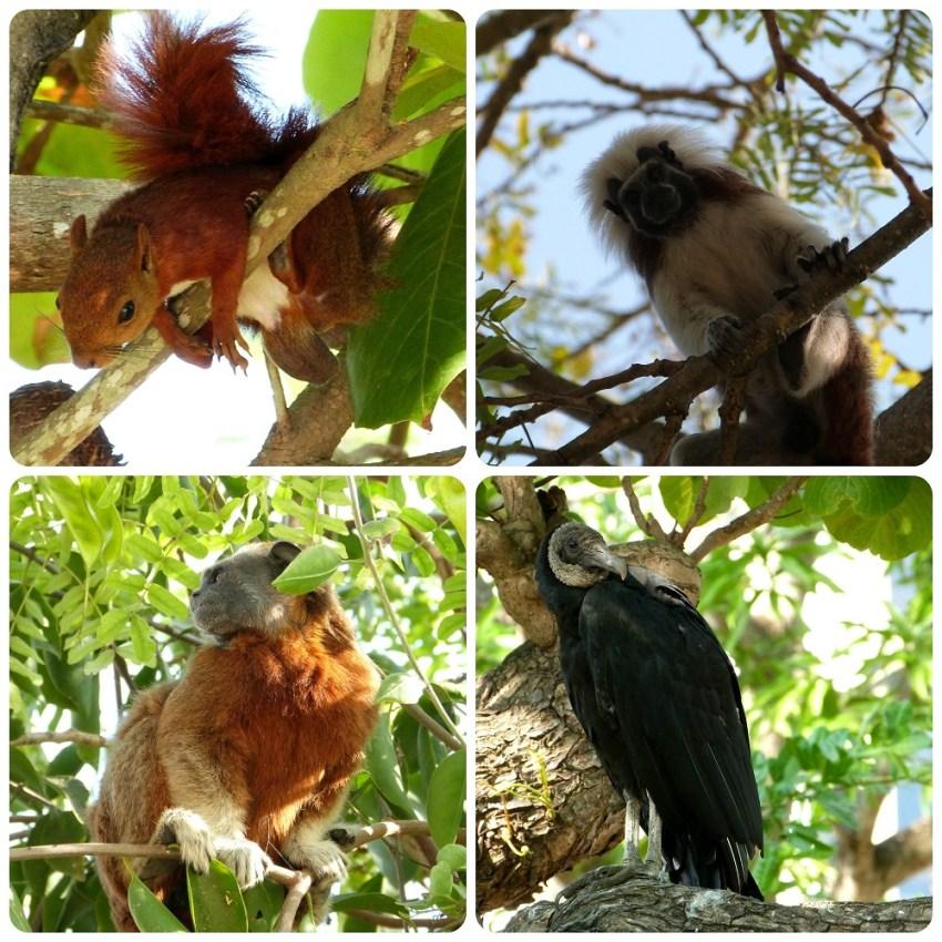 animaux dans les arbres du Parque Centenario de Carthagène : Sciurus granatensis, Saguinus oedipus, Saguinus leucopus et Coragyps atratus