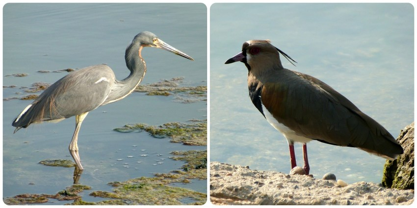 Aves al lado del agua en Cartagena: Egretta tricolor et Vanellus chilensis