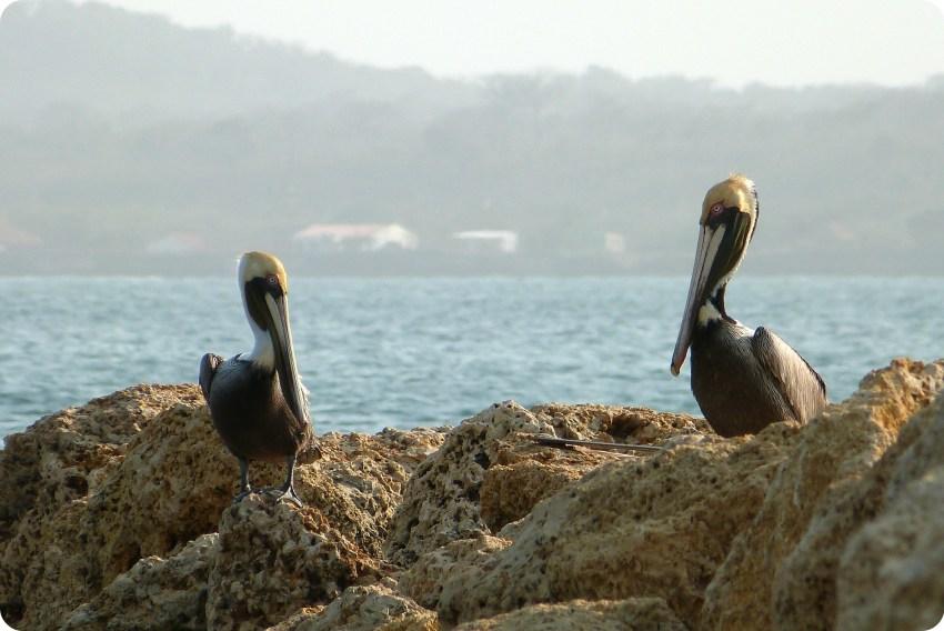 Pelícanos sobre rocas cerca al mar en Cartagena de Indias: Pelecanus occidentalis