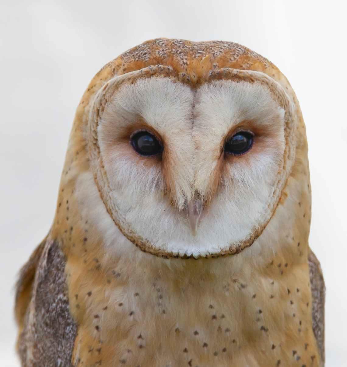 bird barn owl