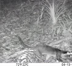 Musang Pemalu Tertangkap Kamera di Gunung Poniki Dumoga Barat