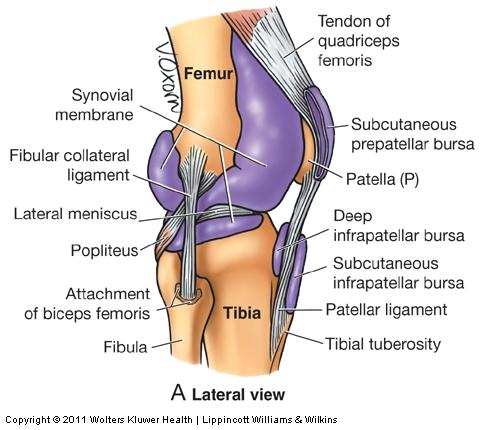 The Knee Anatomy And Function Part 2 Ligaments And Joint Capsule